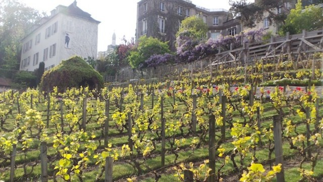 wineyards montmartre